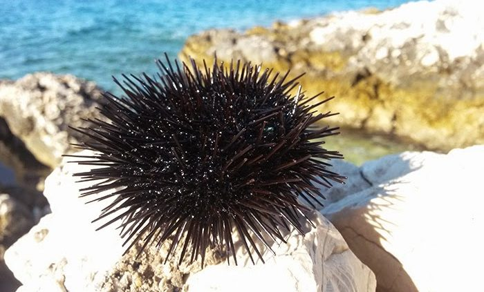 Shallow water sea urchin