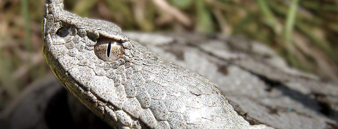 most venomous european snake