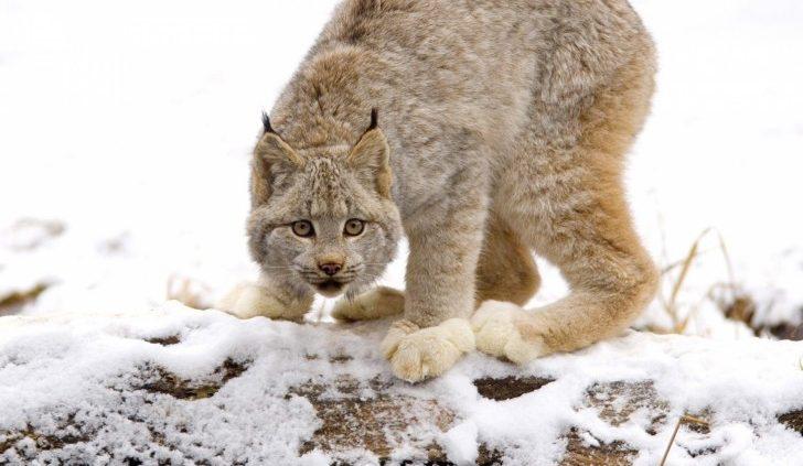 croatian bobcat